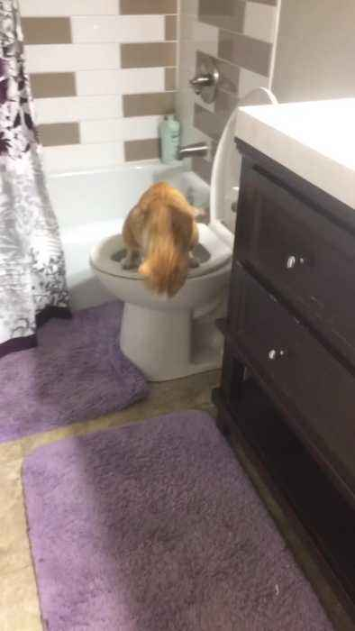 News video: Orange cat uses toilet in slow motion