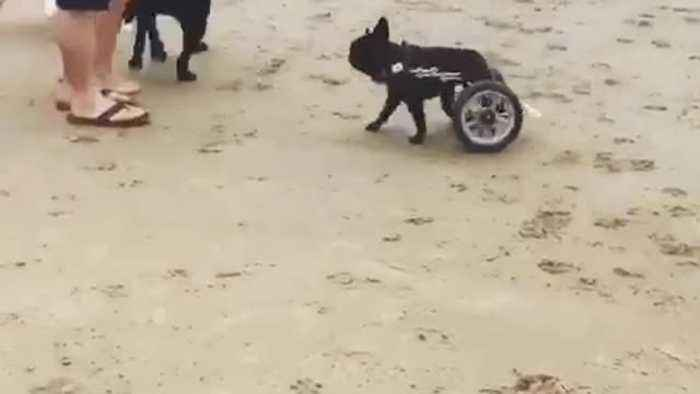 News video: Black pug in wheelchair following other dogs at the beach