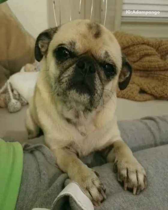 News video: Cream pug gets head massaged while in bed