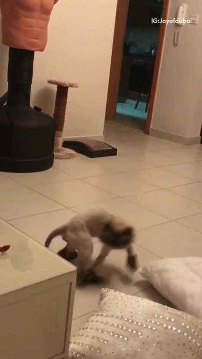 News video: White cat wearing shoes chases tail