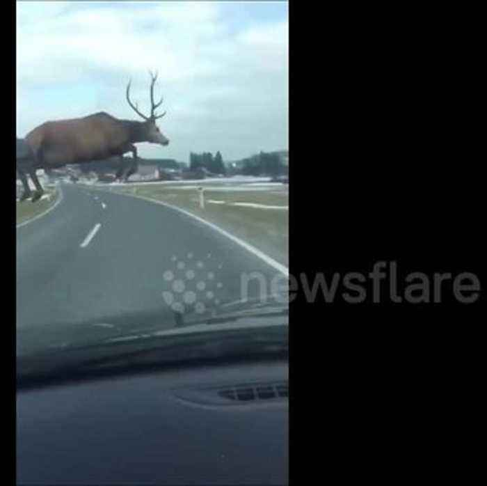 Heart-stopping video shows deer leaping in front of moving car
