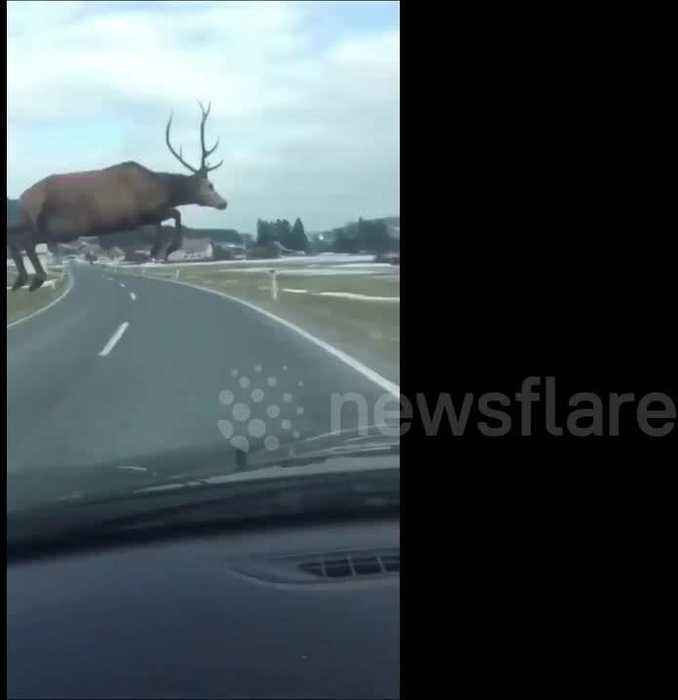News video: Heart-stopping video shows deer leaping in front of moving car