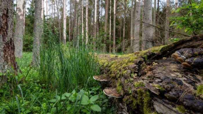 News video: Polish ancient forest logging broke EU law