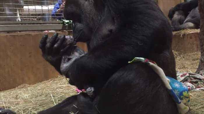 News video: Critically endangered gorilla born at National Zoo