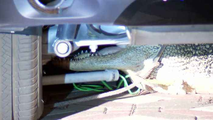 Texas family shocked to find alligator hiding under the car