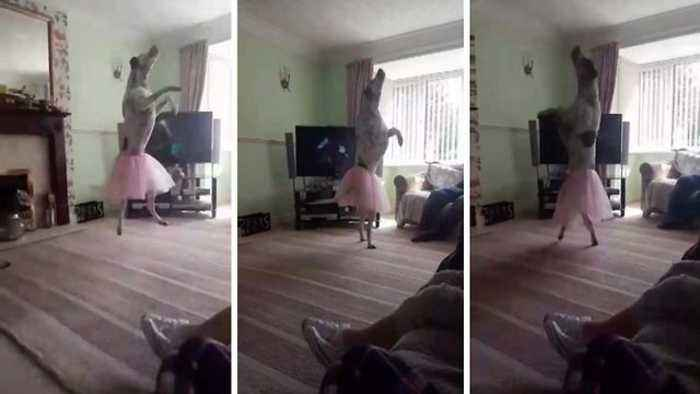 News video: Get him some ballet pups: Excited pooch performs ballet for family wearing tutu