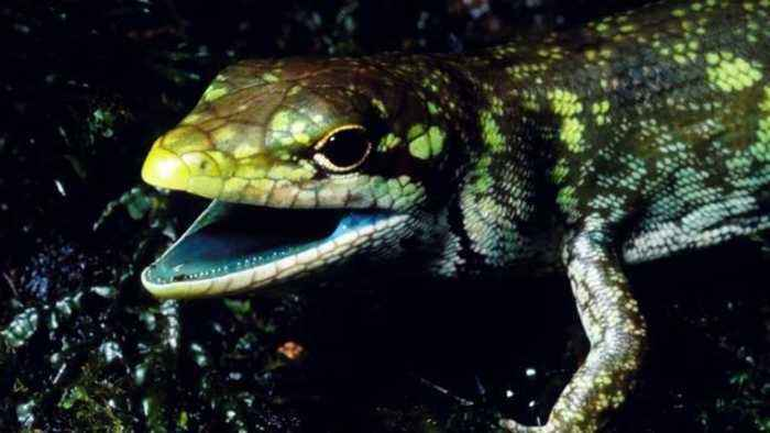 News video: Scientists Unravel The Mysteries Of This Lizard's Toxic Lime-Green Blood