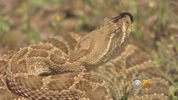 News video: Rattlesnake Study: Snakes Like To Colonize Near Trails