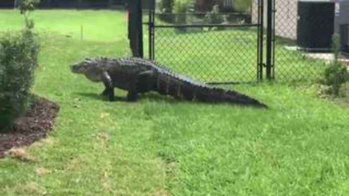 8-foot gator spotted wandering in Port St. Lucie yard