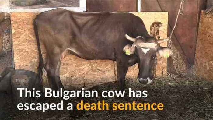 Bulgarian cow's life spared after international outcry