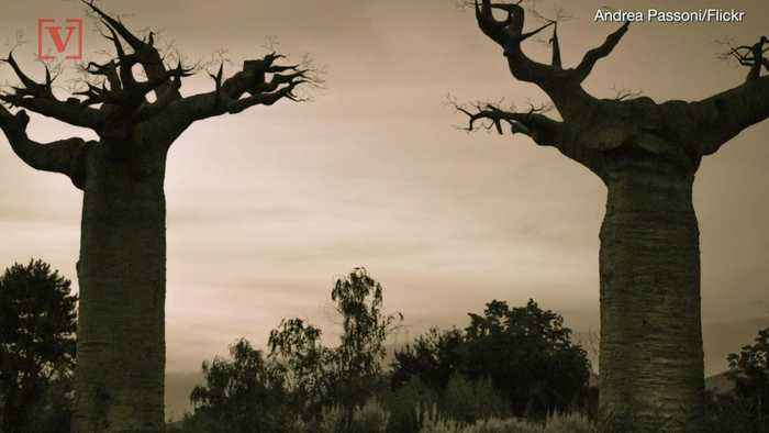 Science Can't Explain Why Africa's Ancient 'Tree Of Life' Is Dying