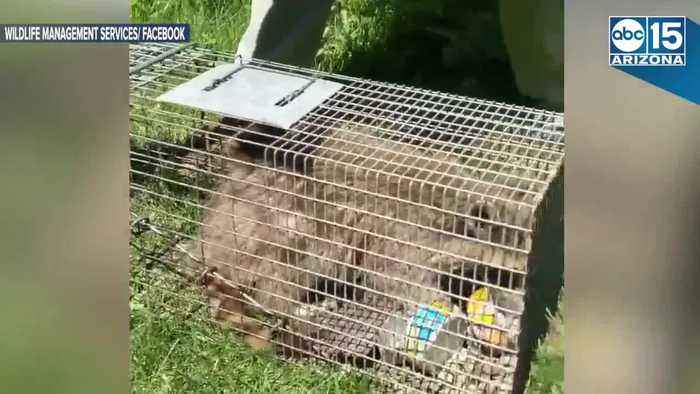 News video: SAFE AT LAST! #MPRraccoon released in lush neighborhood - ABC15 Digital