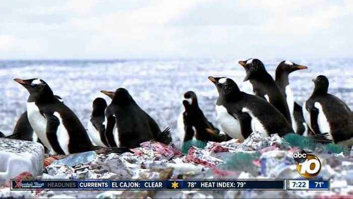 News video: Penguins living on an island of plastic?