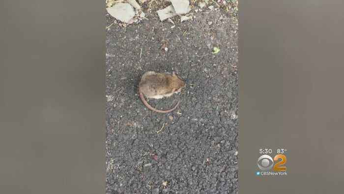 Rats Running Rampant In New Jersey Town