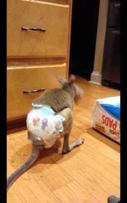 News video: Pet Wallaby Gets Head Stuck in Packet of Oatmeal