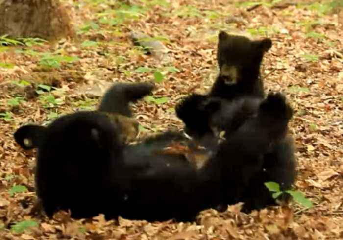 Mama Bear and Cub Enjoy Precious Play Time in Cades Cove, Tennessee