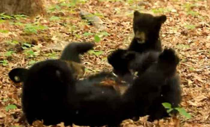 News video: Mama Bear and Cub Enjoy Precious Play Time in Cades Cove, Tennessee