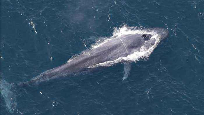News video: Whalers Kill First Blue Whale In Over 40 Years