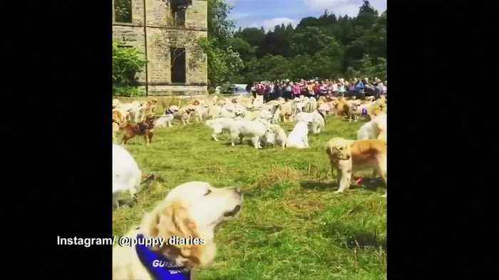 Hundreds Of Golden Retrievers Fill Scottish One News Page Video