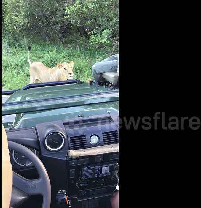 News video: Lion gets too close for comfort during a safari in Kruger National Park