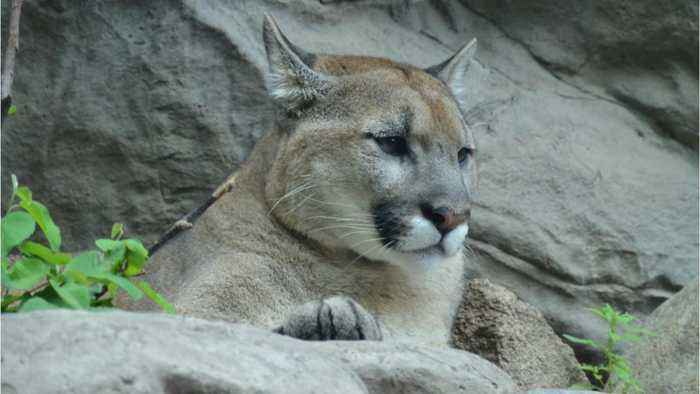 Mountain Lion Breaks Into Colorado Home, Kills Family Cat