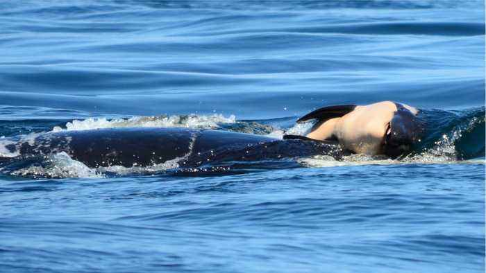 News video: Grieving Orca Whale Releases Dead Calf