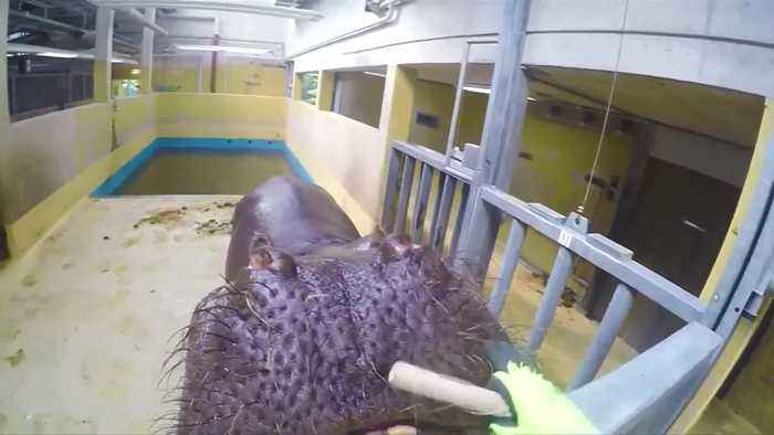 News video: Here's looking at you, feeding time at Cologne zoo.