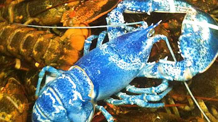 This Lobster Is Naturally Blue