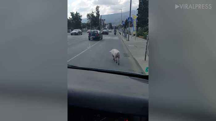 News video: Runaway Pig On The Road