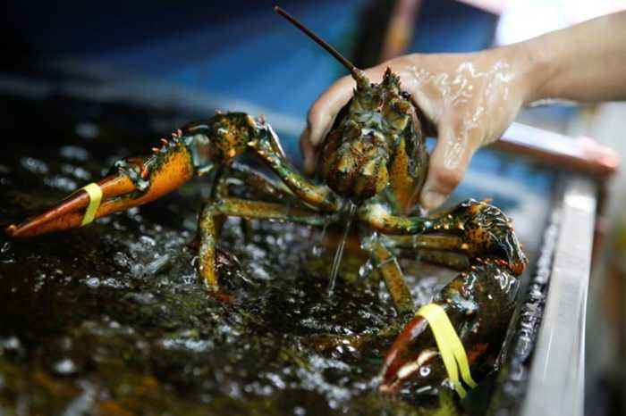 Maine Restaurant to Sedate Lobsters With Marijuana Before Cooking