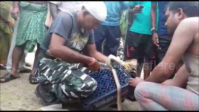 Snake rescuer frees deadly king cobra from plastic drinks pallet