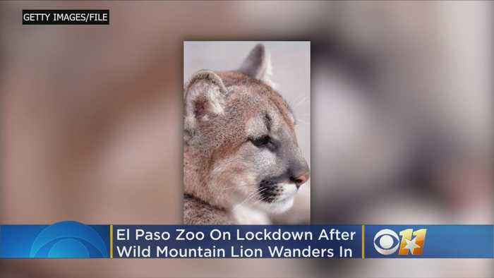 Texas Zoo On Lockdown After Mountain Lion Wanders Inside