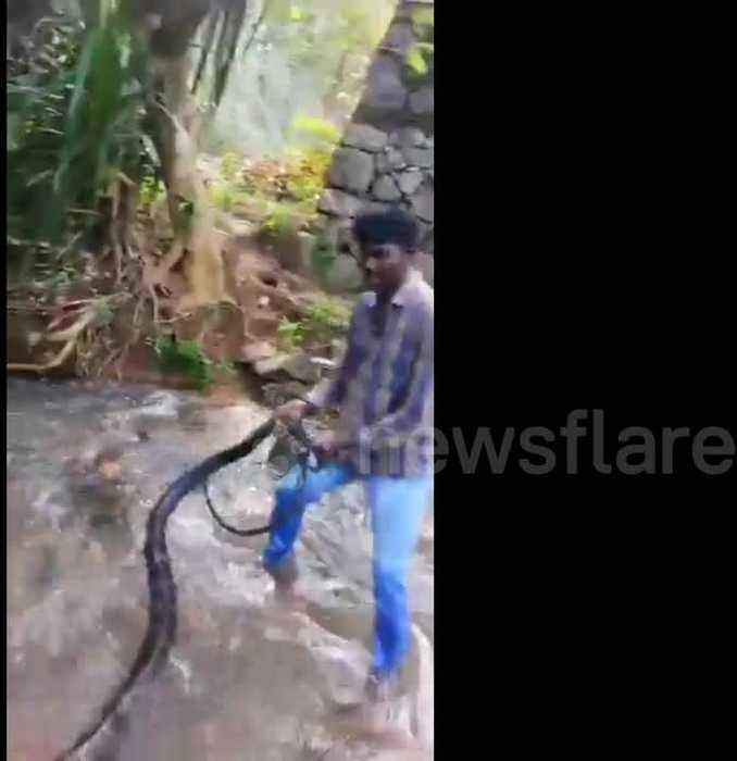 Snake Expert Removes Massive King Cobra From One News Page Video