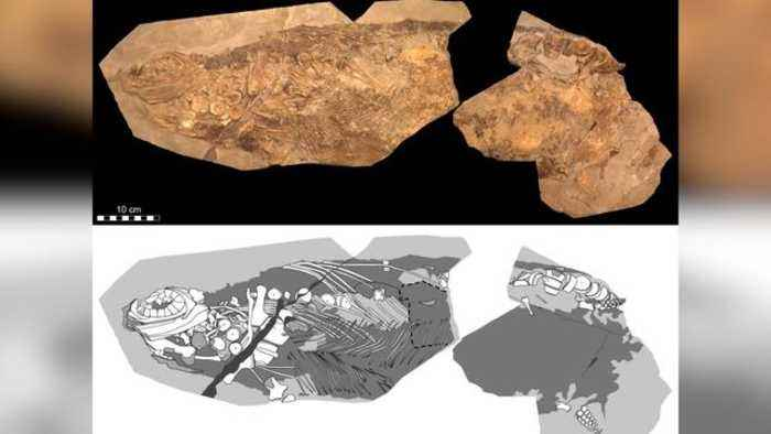 Fossil Blubber Suggests Jurassic Reptilian Sea Creature Was Warm-Blooded