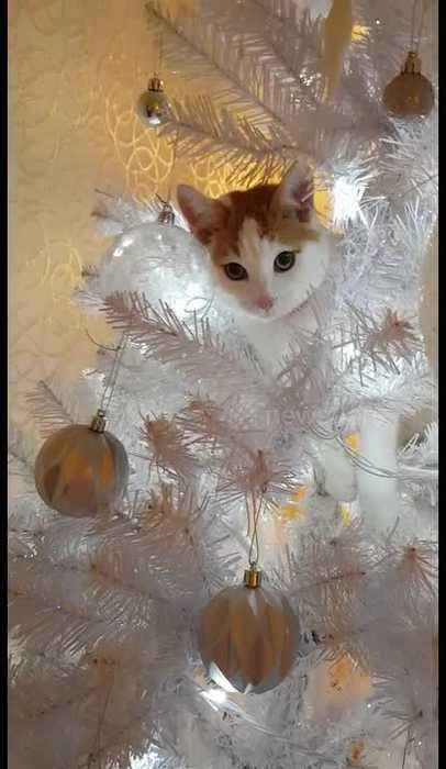 Cheeky cat treats Christmas tree as her very own climbing pole
