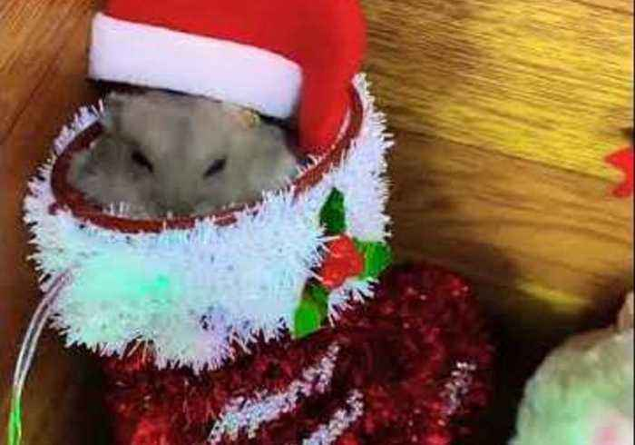 Pudgy Hamster Enjoys Treat in Christmas Stocking