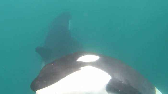 Amazing encounter! Family of orcas circle diver off the coast of New Zealand