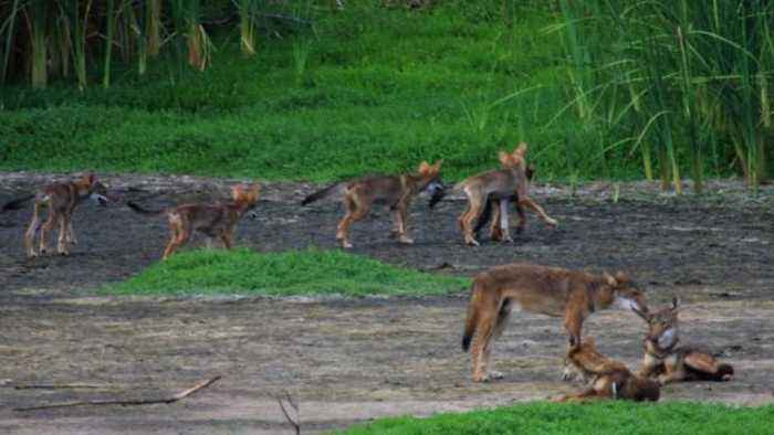 Scientists Stumped After Mysterious Canines in Texas Found To Be Carrying Red Wolf DNA
