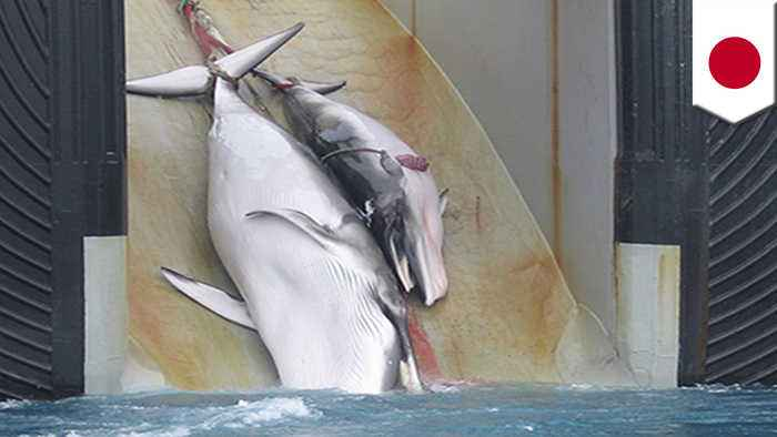 Japan announces plans to resume commercial whaling