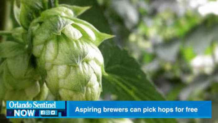 Aspiring brewers can pick their own hops for free Saturday in Zellwood
