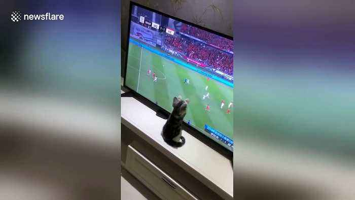 Kitten watching Asian Cup tries to catch football on TV