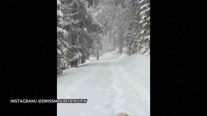 Golden Retriever walks in charming winter forest as heavy snow falling in Switzerland