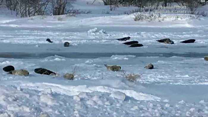 Seals Stranded in Canadian Town