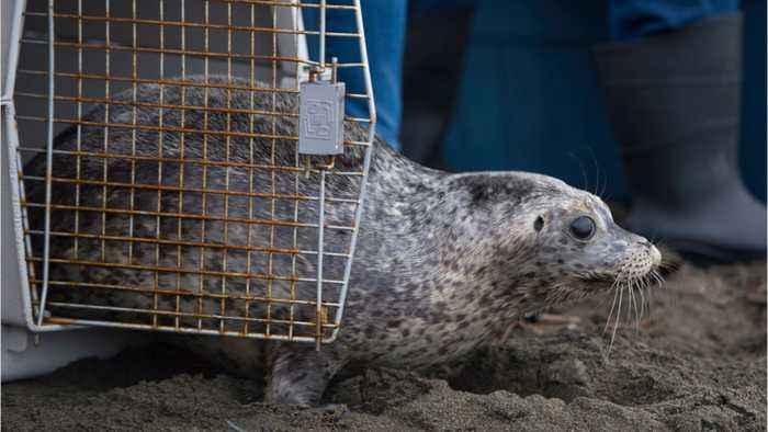 40 Stranded Seals Are Stuck In A Canadian Town