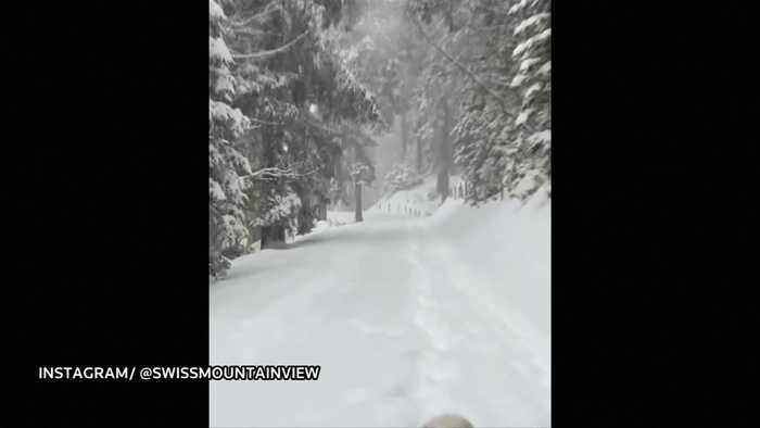 Golden Retriever walks in enchanting winter forest during heavy snowfall in Switzerland