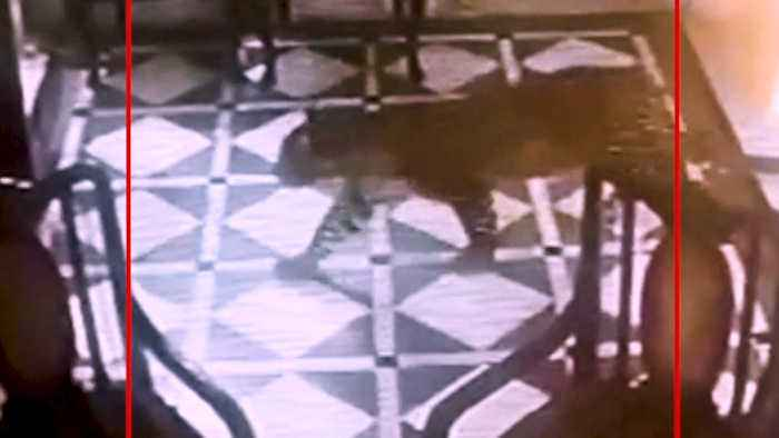 Leopard enters hotel lobby in Mussoorie, roams free for 15 minutes