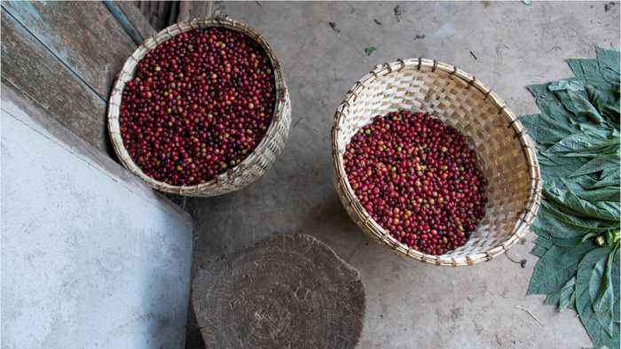 60% Of Wild Coffee Species Are Facing Extinction