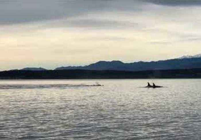 Orca Calf Spotted in Critically Endangered Puget Sound Pod