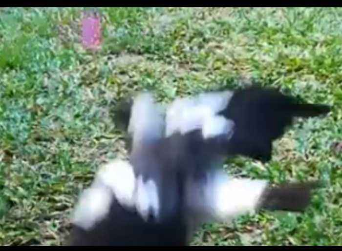 'Puppy With Wings': Watch This Friendly Magpie Play Fetch