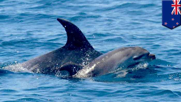 Grieving dolphin carries its lost little one